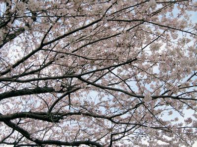 cherry_20080330.JPG
